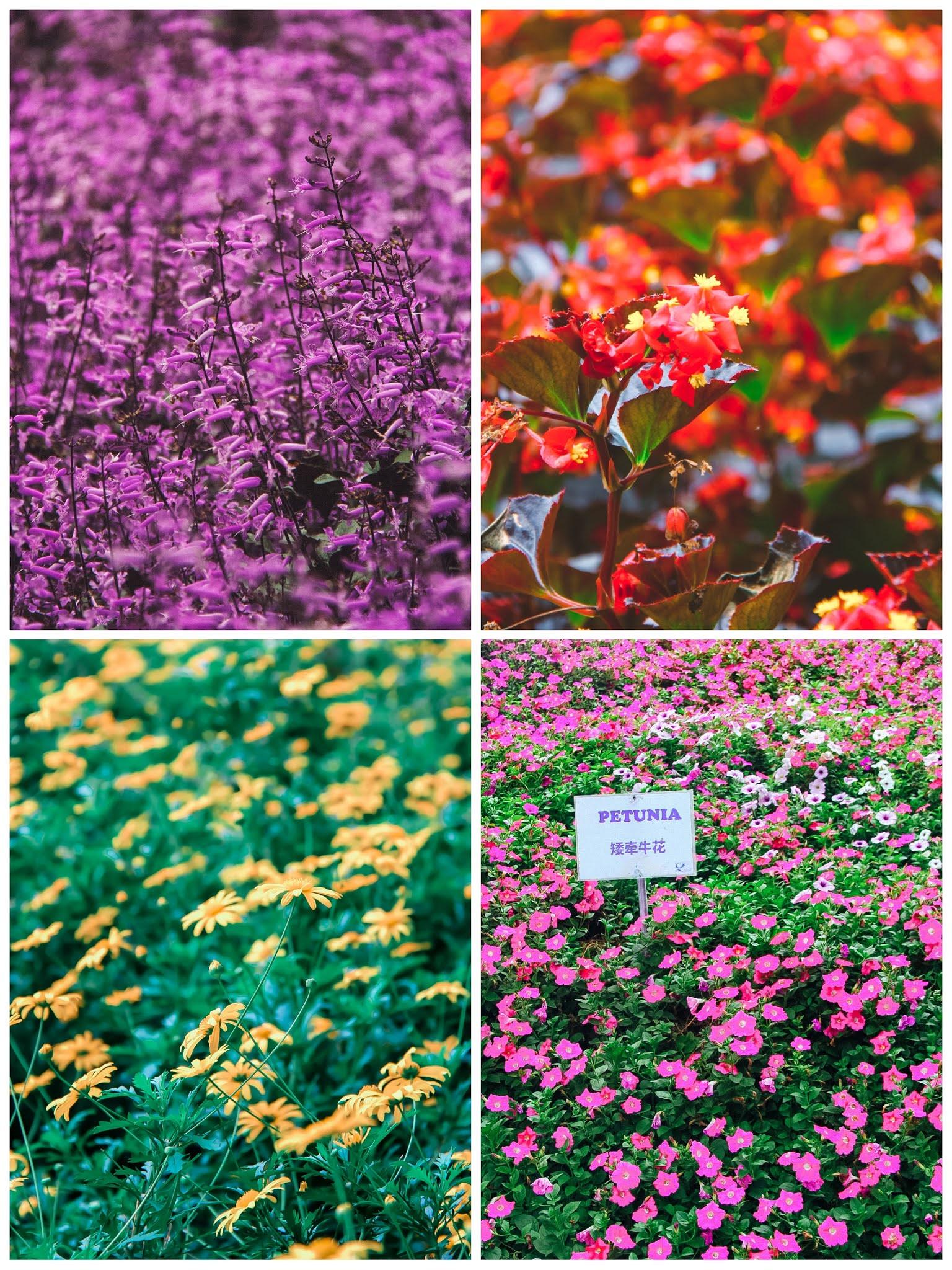 Cameron Lavender Garden, Cameron Highland