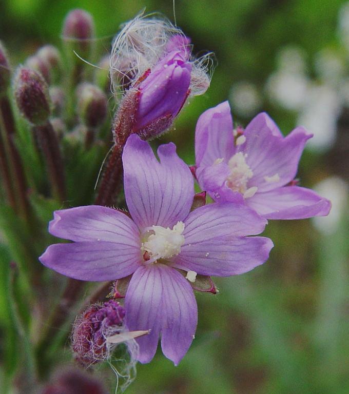 Wierzbownica drobnokwiatowa w leczeniu trądziku pospolitego - czy rzeczywiście działa i komu mogę ją polecić?