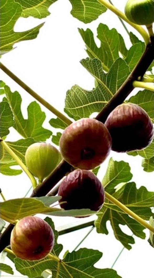Bibit buah tin merah jumbo jenis Moyuna cangkok cepat berbuah Bukittinggi