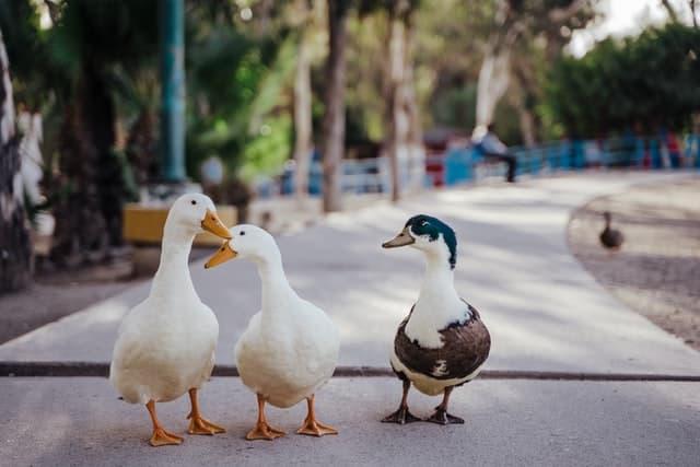 aprende ingles animal patos blanco marron parque