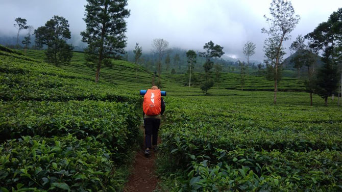 Keluar dari basecamp menuju kandang celeng, hamparan kebun teh