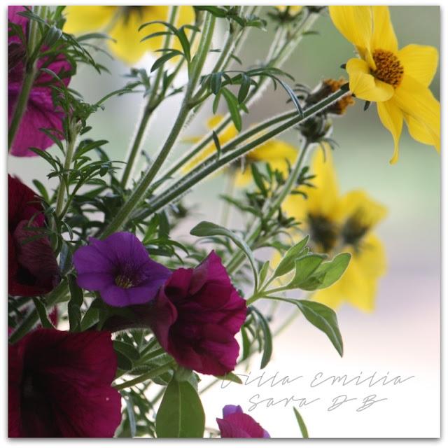 Bidens, Petunia, Calibrachoa