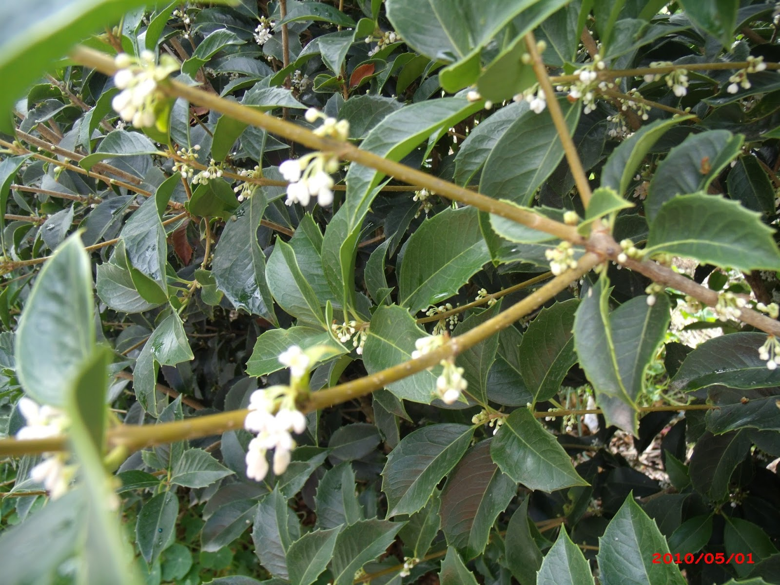 A Moment Of Absolute Joy Osmanthus Fragrans Flowering Aromatic