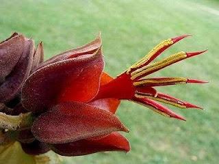 bunga-tangan-setan