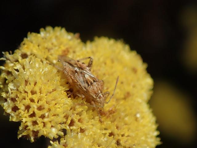Stictopleurus scutellaris