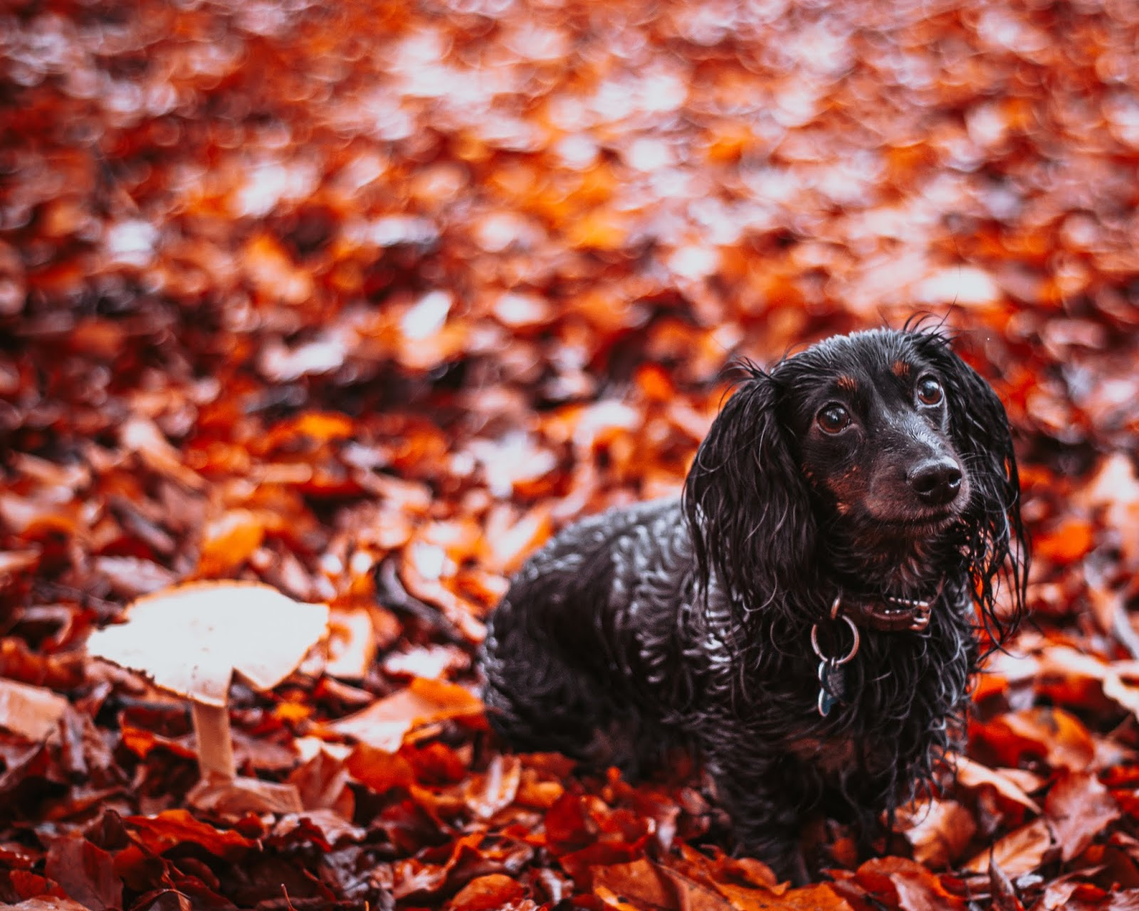 hetty dachshund in autumn leaves blenheim palace liquid grain liquidgrain