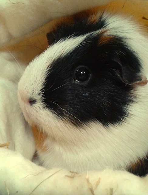 Emmeline Guinea Pig adopted after her mother died