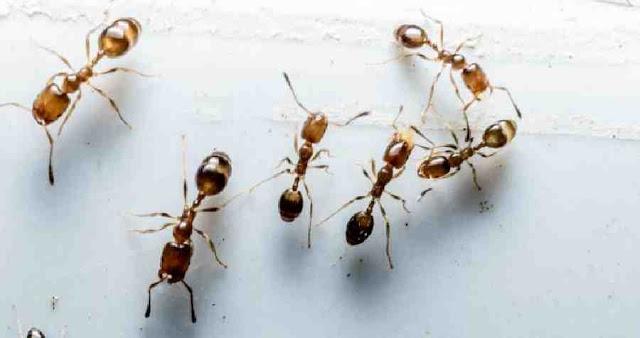 Cara Alami Mengusir Semut Tanpa Membunuhnya