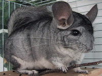 Chinchilla Animal Pictures