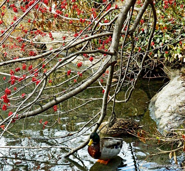 Pato em The Pond, lago no Central Park, Nova York