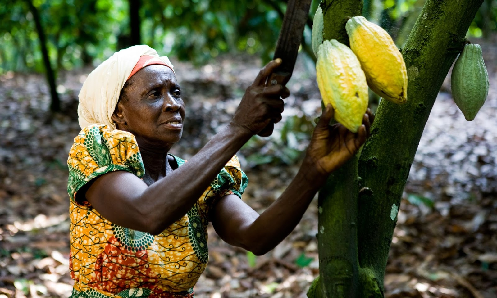 Image result for cocoa ghana
