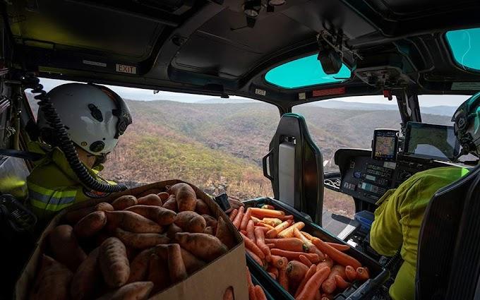 Αυστραλία: Ελικόπτερα πετούν γλυκοπατάτες και καρότα για να επιβιώσουν τα καγκουρό