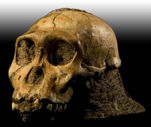 Gambar Fosil manusia purba jenis Homo