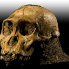 Fosil manusia purba jenis Homo