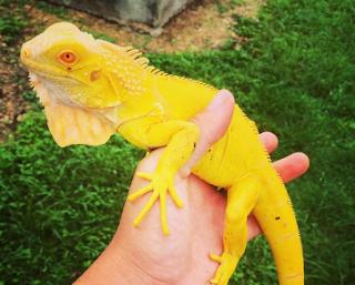 iguana albino