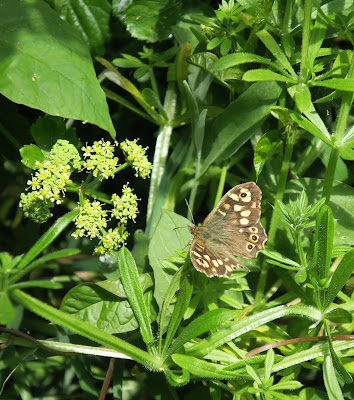 Speckled Wood Butterfly on Cleavers