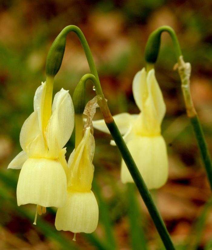 Narcissus triandus