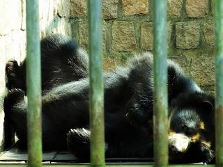 Urso-de-óculos deitado no Parque Zoológico de Sapucaia