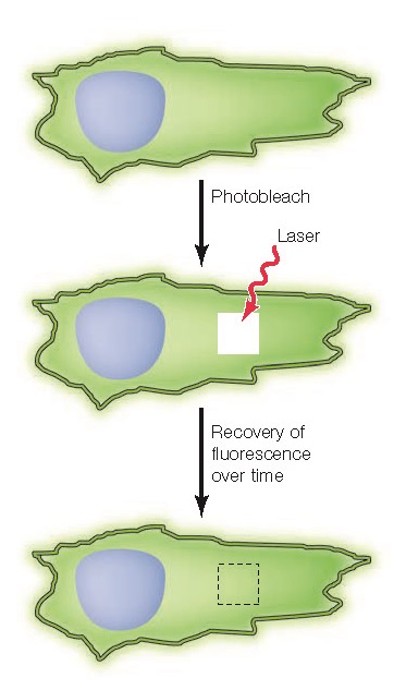 Fluorescence recovery after photobleaching (FRAP) A region of a cell expressing