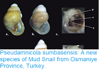 http://sciencythoughts.blogspot.com/2019/01/pseudamnicola-sumbasensis-new-species.html