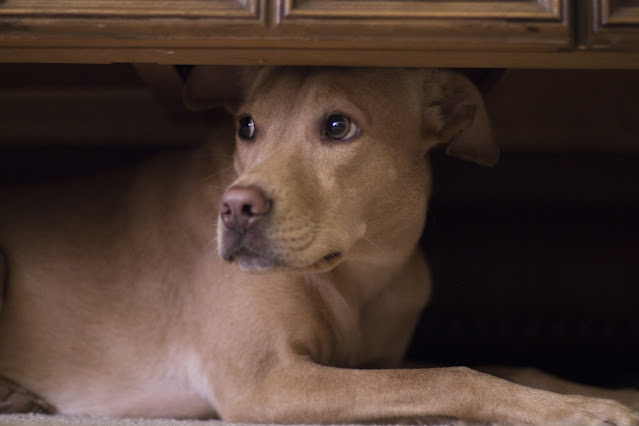A fearful dog hides under a table. Don't make these mistakes when training a fearful dog.