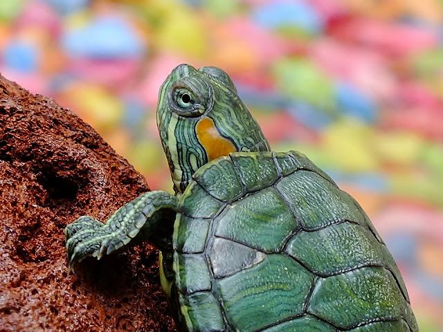"""Alt=""""turtle for pet"""""""