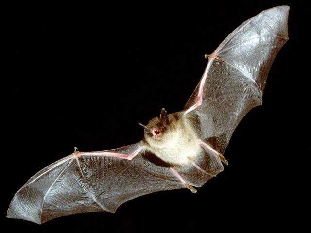 African bat_Eidolon helvum pictures