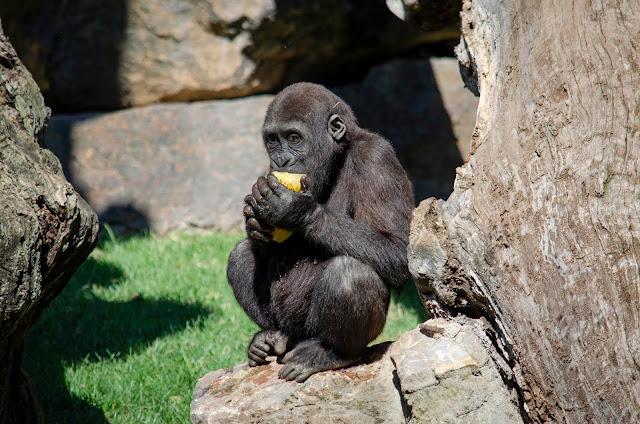 Gorila Bioparc