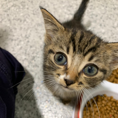 Tabby kitten with blue eyes looking up at the camera