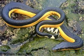 Yellow Bellied Sea Snake atau Ular laut kuning Bellied
