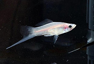 Ikan White Swordtail