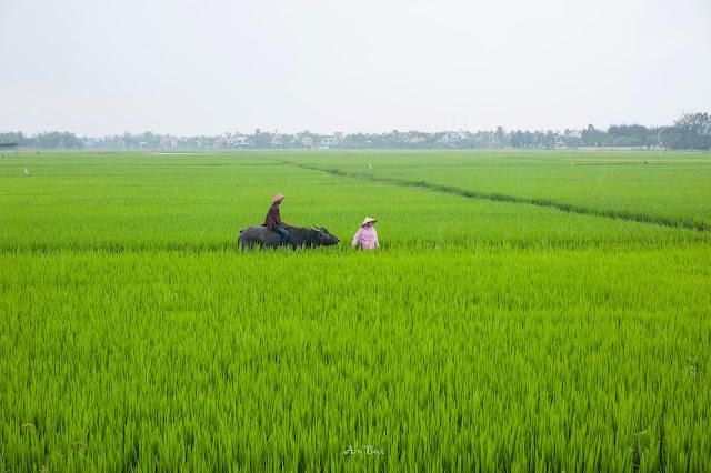 Thăm lúa ở Hội An