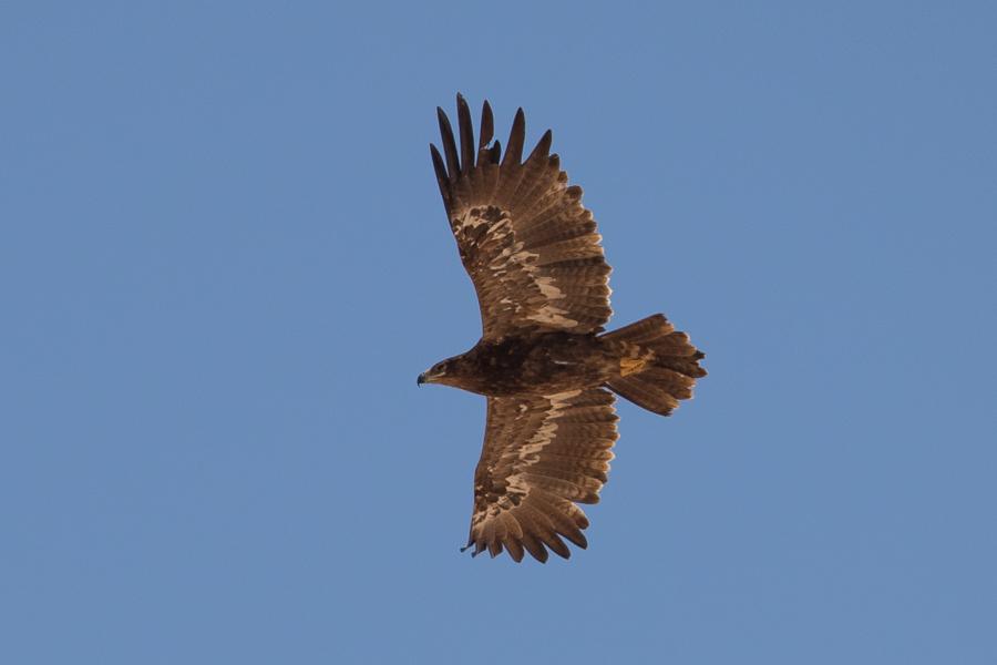 Immature Steppe Eagle – Tabuk