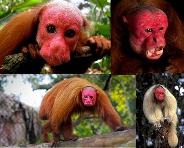 Kel Uakari Maymunu Özellikleri