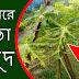পেঁপে গাছের পাতা হলুদ সমাধান ও সতর্কতা   Hybrid Red Lady Papaya plantation