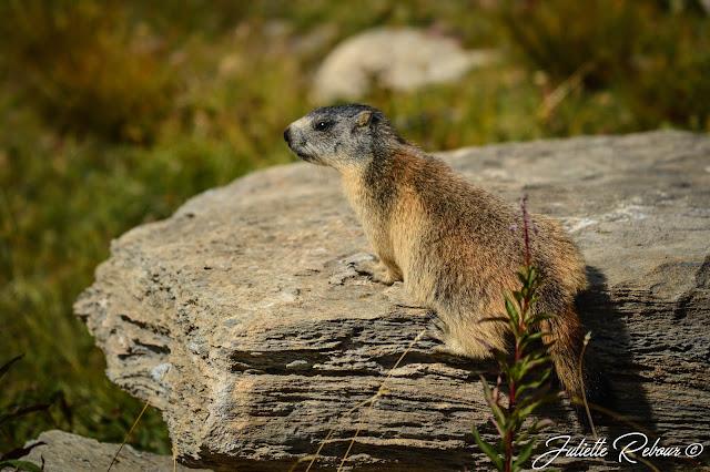 Marmotte en montagne, France, Savoie