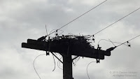 Red-tailed hawks started a nest on this utility pole, but the company moved it before the birds could finish it - by Denise Motard, PEI, Canada
