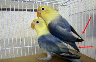 Cara Membedakan Lovebird Jantan Dan Betina Umur 2 Bulan