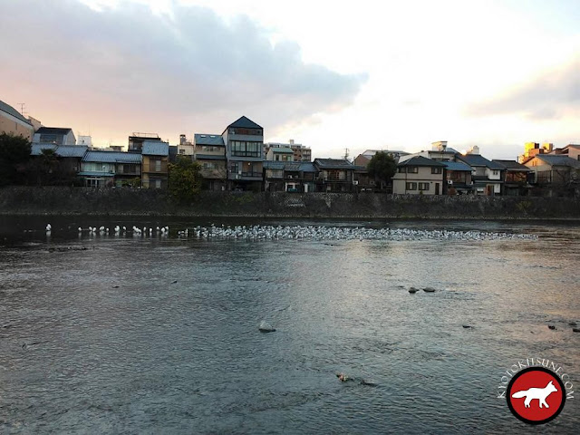 Mouettes russes sur la rivière Kamo en Kyoto en hiver