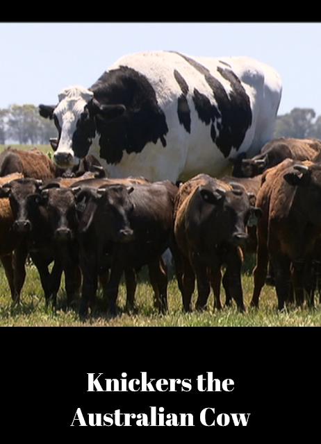 http://www.mycrazyemail.net/2018/11/knickers-australian-cow.html