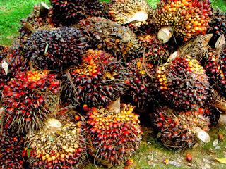 cara-memanen-kelapa-sawit.jpg