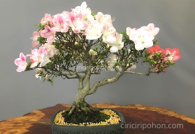 Ciri Ciri Pohon Bonsai Azalea