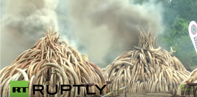 Kenya set fire to its vast ivory stockpile at Nairobi's national park to send a strong message to save elephants from slaughter.  Officials poured thousands of litres of diesel and kerosene into ​eleven giant pyres of tusks and torched them sending huge white clouds of smoke.