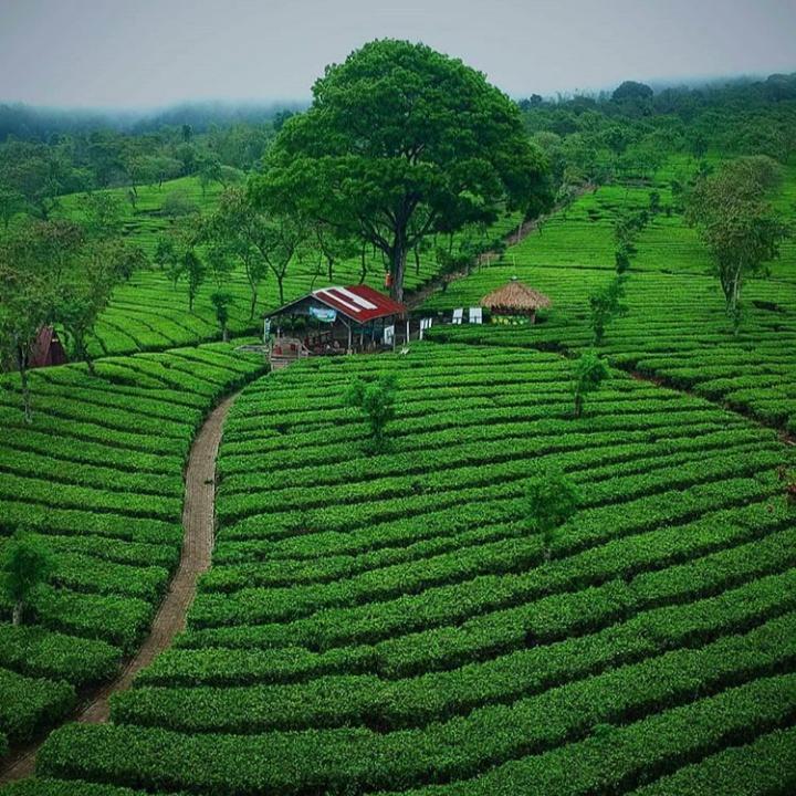 Gambar Kebun Teh Lawang Dowes29 Com Bukit Kuneer Kebun Teh Wonosari Tiket Masuk 2020 Dan Lokasi