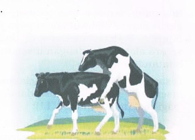 contoh ilustrasi sapi birahi