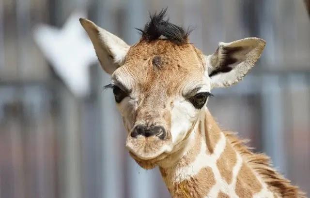 Moselle : Un bébé girafe est né au zoo d'Amnéville, « une première en trente ans »