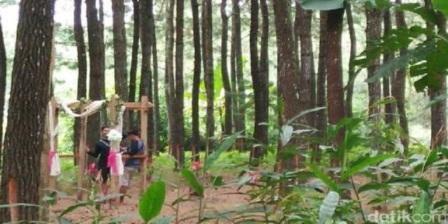 hutan pinus songgon banyuwangi,objek wisata jawa timur,wisata banyuwangi