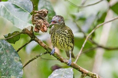 argentinian birds Sharpbill