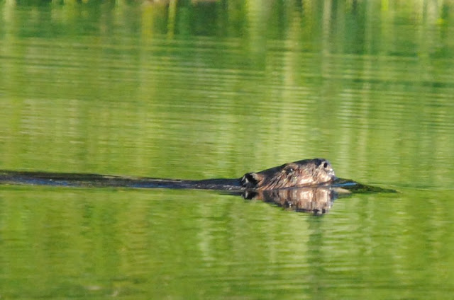 Beaver at the Cable Pool, Naraguagus River, Maine