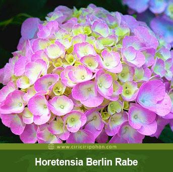 ciri ciri pohon tanaman bunga hortensia